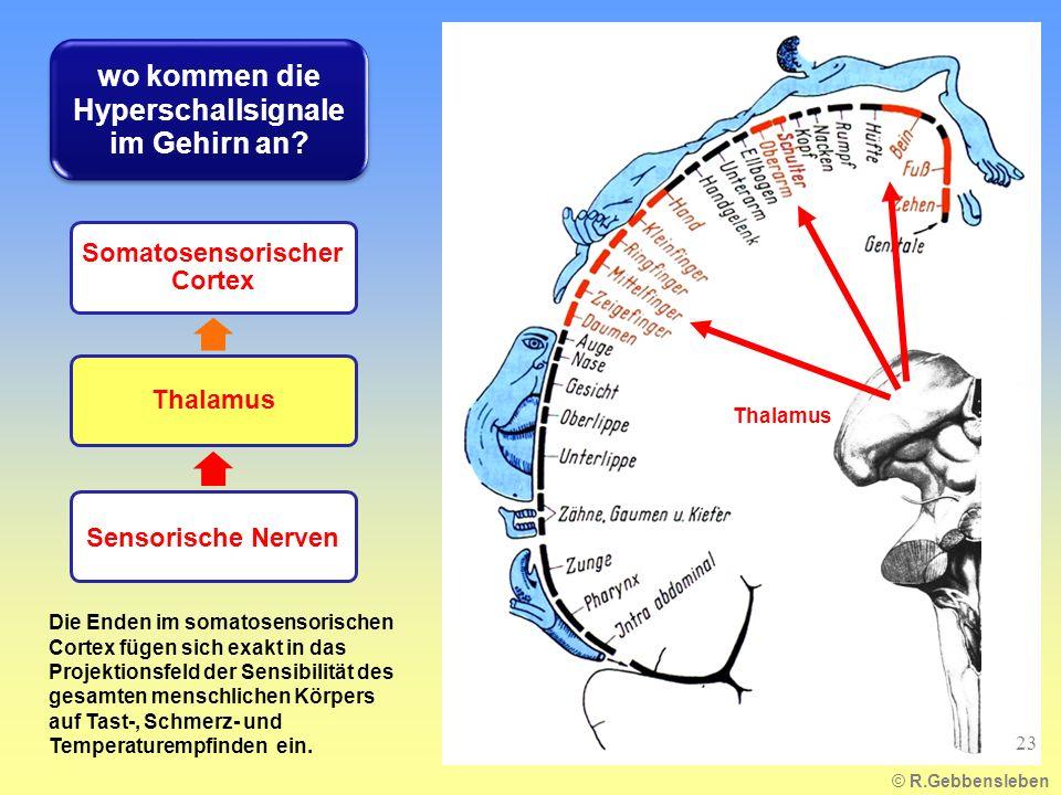 Die Enden im somatosensorischen Cortex fügen sich exakt in das Projektionsfeld der Sensibilität des gesamten menschlichen Körpers auf Tast-, Schmerz-