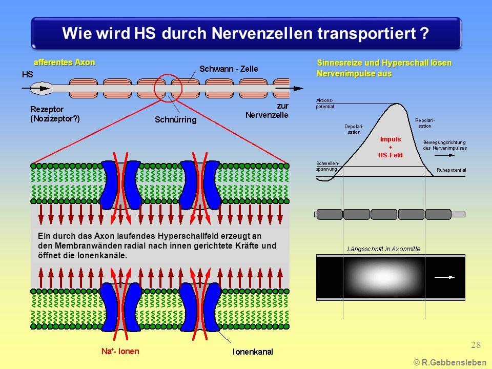 Sinnesreize und Hyperschall lösen Nervenimpulse aus © R.Gebbensleben afferentes Axon 28 Ein durch das Axon laufendes Hyperschallfeld erzeugt an den Membranwänden radial nach innen gerichtete Kräfte und öffnet die Ionenkanäle.