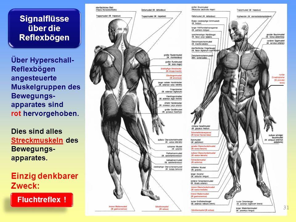 Über Hyperschall- Reflexbögen angesteuerte Muskelgruppen des Bewegungs- apparates sind rot hervorgehoben.