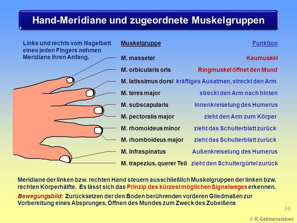 Hand-Meridiane und zugeordnete Muskelgruppen © R.Gebbensleben 36 Links und rechts vom Nagelbett eines jeden Fingers nehmen Meridiane ihren Anfang. M.