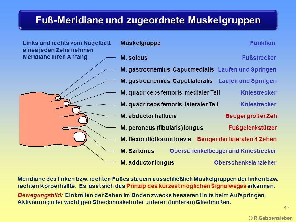 Fuß-Meridiane und zugeordnete Muskelgruppen © R.Gebbensleben 37 Links und rechts vom Nagelbett eines jeden Zehs nehmen Meridiane ihren Anfang.