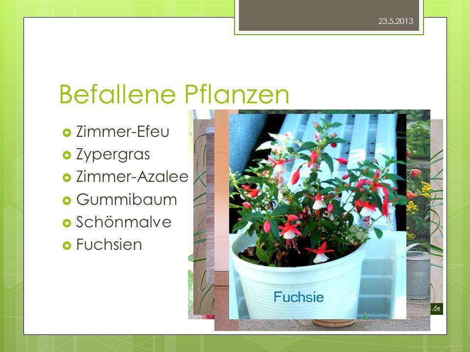 Befallene Pflanzen Zimmer-Efeu Zypergras Zimmer-Azalee Gummibaum Schönmalve Fuchsien 23.5.2013 Simon Zahn Gä 2b