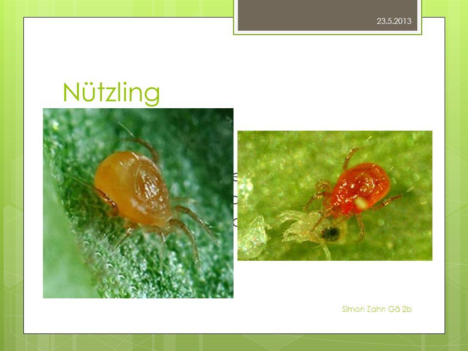 Nützling Raubmilben Kaum grösser Direkt auf den Pflanzen Schädlinge und Eier aussaugen 200 Eier und 50 erwachsene Tiere Selbst vermehren 23.5.2013 Sim