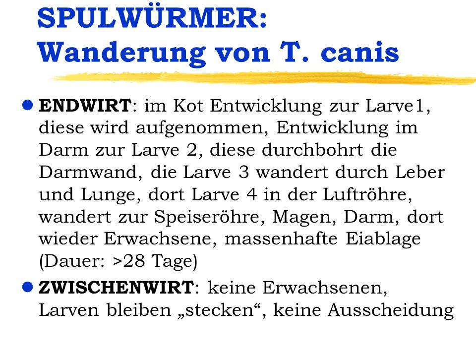 SPULWÜRMER: Wanderung von T. canis l ENDWIRT : im Kot Entwicklung zur Larve1, diese wird aufgenommen, Entwicklung im Darm zur Larve 2, diese durchbohr
