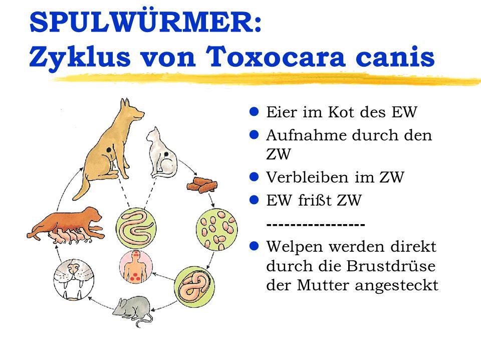 SPULWÜRMER: Zyklus von Toxocara canis lEier im Kot des EW lAufnahme durch den ZW lVerbleiben im ZW lEW frißt ZW ----------------- lWelpen werden direk