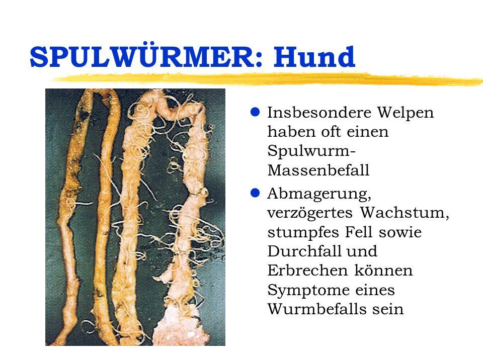 SPULWÜRMER: Hund lInsbesondere Welpen haben oft einen Spulwurm- Massenbefall lAbmagerung, verzögertes Wachstum, stumpfes Fell sowie Durchfall und Erbr