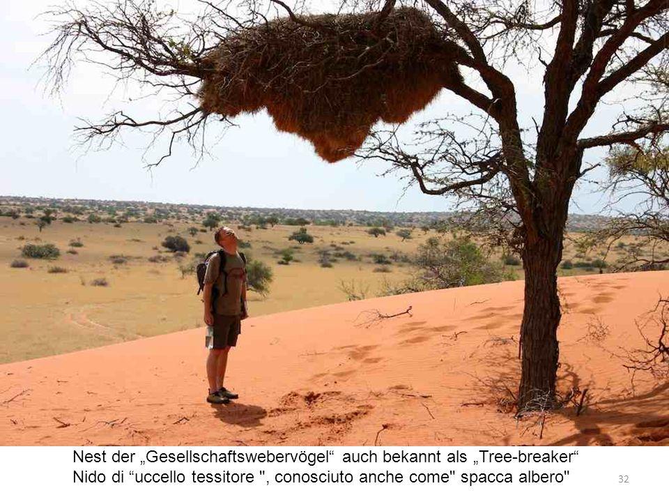 Nest der Gesellschaftswebervögel auch bekannt als Tree-breaker Nido di uccello tessitore