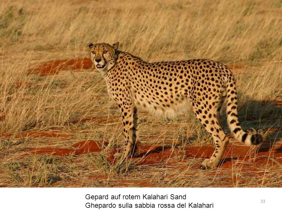 Gepard auf rotem Kalahari Sand Ghepardo sulla sabbia rossa del Kalahari 33