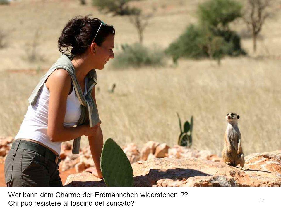 Wer kann dem Charme der Erdmännchen widerstehen Chi può resistere al fascino del suricato 37