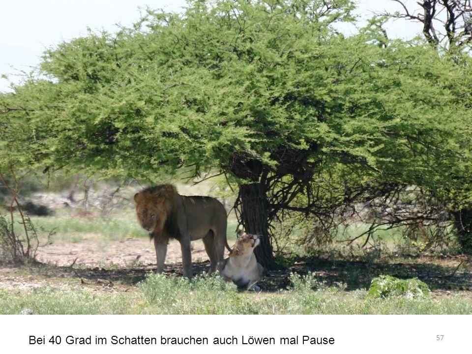 Bei 40 Grad im Schatten brauchen auch Löwen mal Pause 57