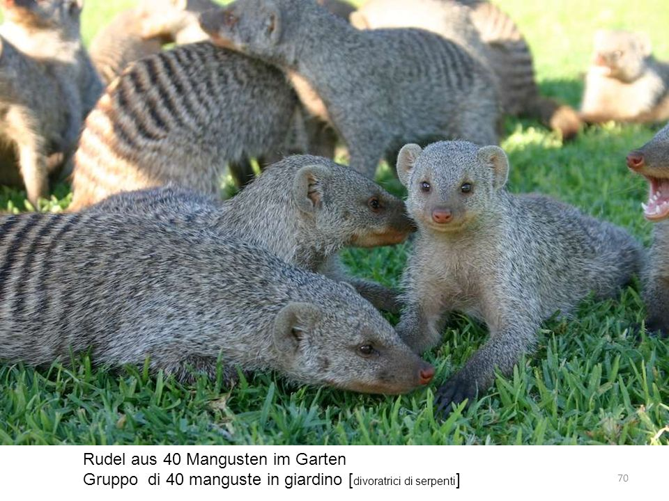Rudel aus 40 Mangusten im Garten Gruppo di 40 manguste in giardino [ divoratrici di serpenti ] 70