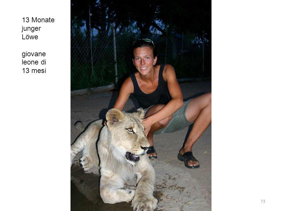 13 Monate junger Löwe giovane leone di 13 mesi 73