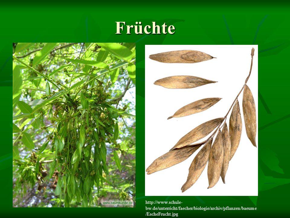 Früchte http://www.schule- bw.de/unterricht/faecher/biologie/archiv/pflanzen/baeume /EscheFrucht.jpg