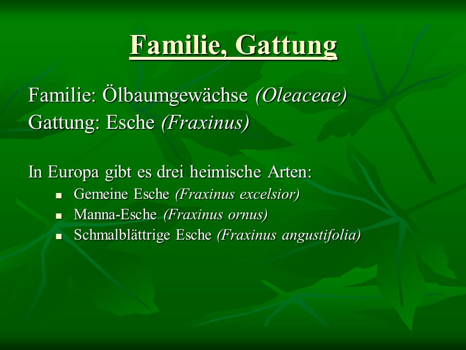 Familie, Gattung Familie: Ölbaumgewächse (Oleaceae) Gattung: Esche (Fraxinus) In Europa gibt es drei heimische Arten: Gemeine Esche (Fraxinus excelsior) Gemeine Esche (Fraxinus excelsior) Manna-Esche (Fraxinus ornus) Manna-Esche (Fraxinus ornus) Schmalblättrige Esche (Fraxinus angustifolia) Schmalblättrige Esche (Fraxinus angustifolia)
