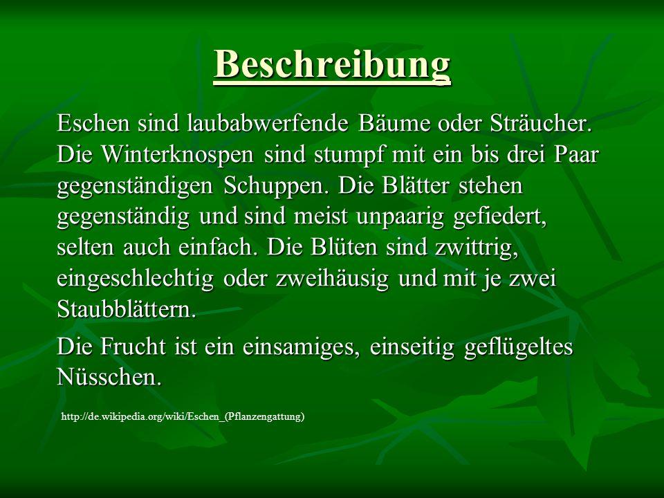 Blätter http://www.altmuehltal.de/eichstaett/waldlehrpfad/esche.jpg http://www2.uni-siegen.de/~ag-lamu/Blaetter/esche.JPG http://www.forst-hamburg.de/alterfradebaumarten-Dateien/Esche.JPG
