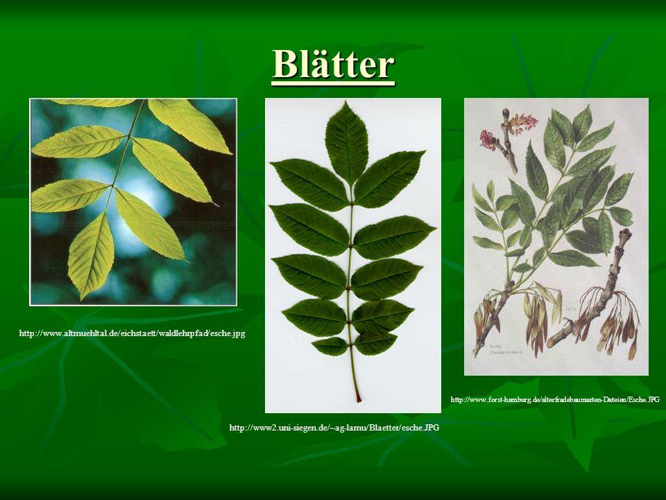 Belaubter Baum http://www.baumkreis.de/images/besinn/esche.jpg