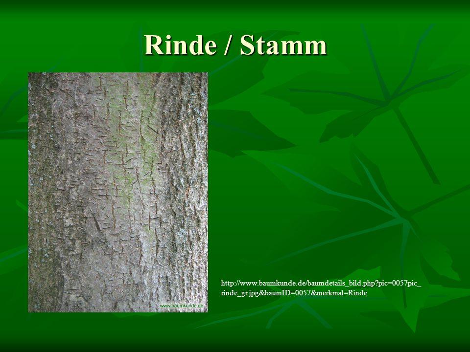 Rinde / Stamm http://www.baumkunde.de/baumdetails_bild.php?pic=0057pic_ rinde_gr.jpg&baumID=0057&merkmal=Rinde