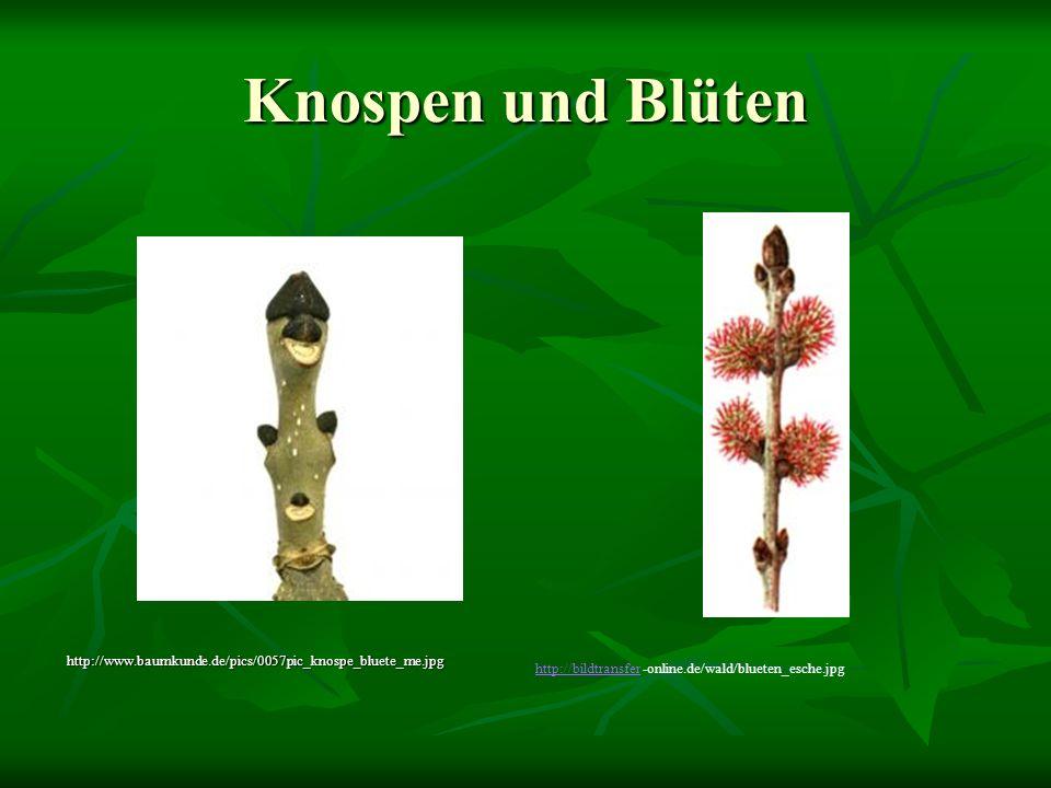 Knospen und Blüten http://www.baumkunde.de/pics/0057pic_knospe_bluete_me.jpg http://bildtransferhttp://bildtransfer -online.de/wald/blueten_esche.jpg