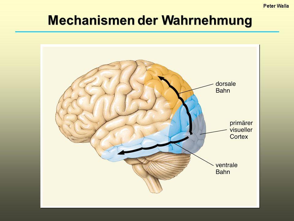 Mechanismen der Wahrnehmung Peter Walla