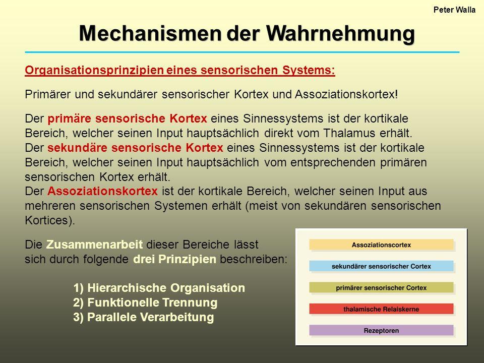 Mechanismen der Wahrnehmung Organisationsprinzipien eines sensorischen Systems: Primärer und sekundärer sensorischer Kortex und Assoziationskortex! De