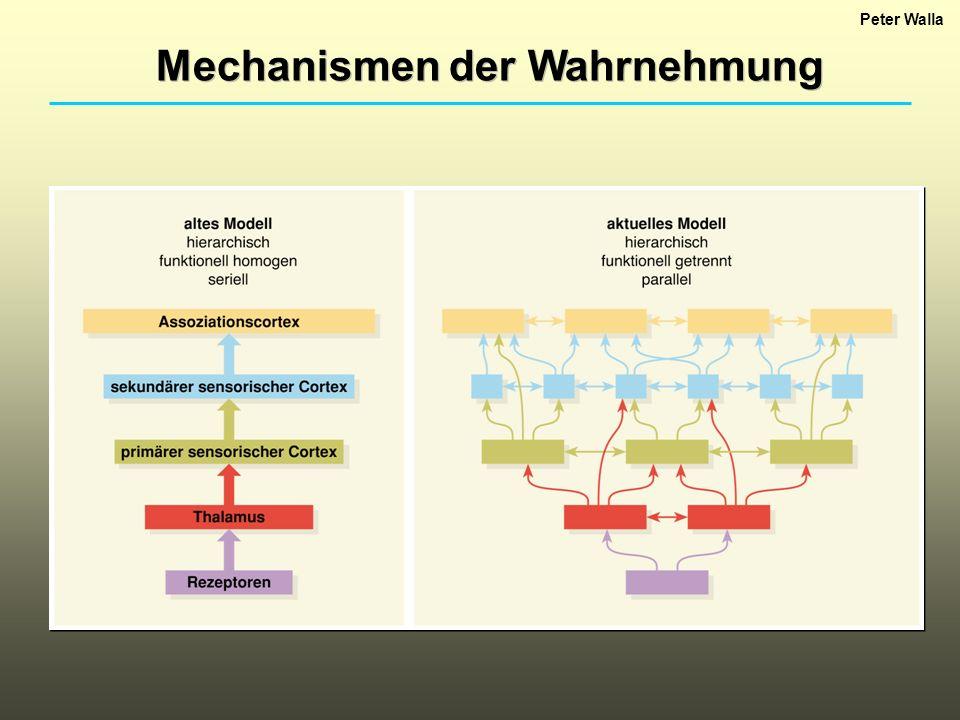 Mechanismen der Wahrnehmung Peter Walla Kortikale Mechanismen des Sehens: Relativ große Bereiche des menschlichen Kortex sind beim Sehen beteiligt.