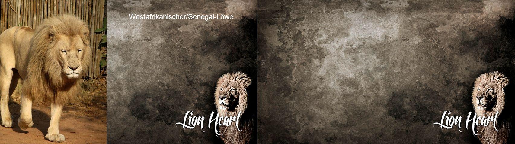Westafrikanischer/Senegal-Löwe