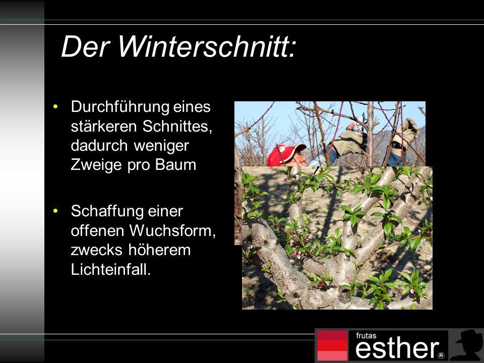 Der Winterschnitt: Durchführung eines stärkeren Schnittes, dadurch weniger Zweige pro Baum Schaffung einer offenen Wuchsform, zwecks höherem Lichteinfall.