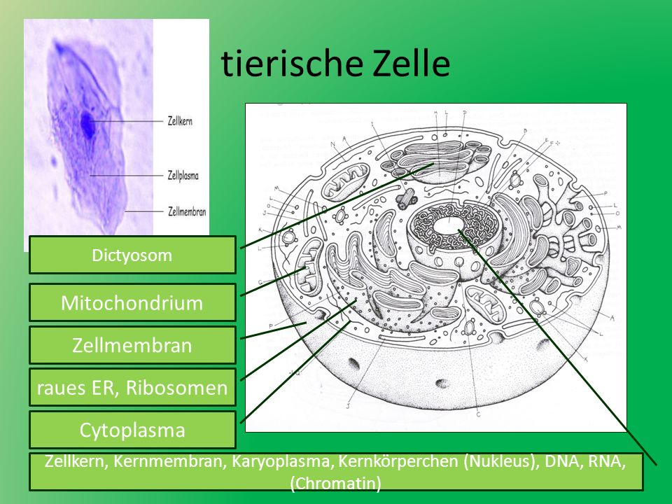 tierische Zelle Mitochondrium Zellmembran raues ER, Ribosomen Dictyosom Cytoplasma Zellkern, Kernmembran, Karyoplasma, Kernkörperchen (Nukleus), DNA,