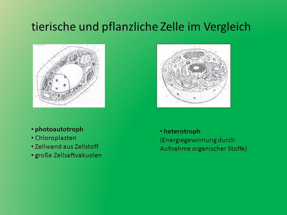 tierische und pflanzliche Zelle im Vergleich photoautotroph Chloroplasten Zellwand aus Zellstoff große Zellsaftvakuolen heterotroph (Energiegewinnung