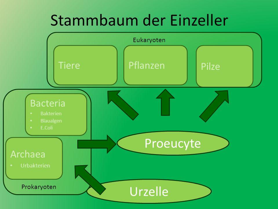 Stammbaum der Einzeller Urzelle Bacteria Bakterien Blaualgen E.Coli Archaea Urbakterien Pilze PflanzenTiere Prokaryoten Eukaryoten Proeucyte