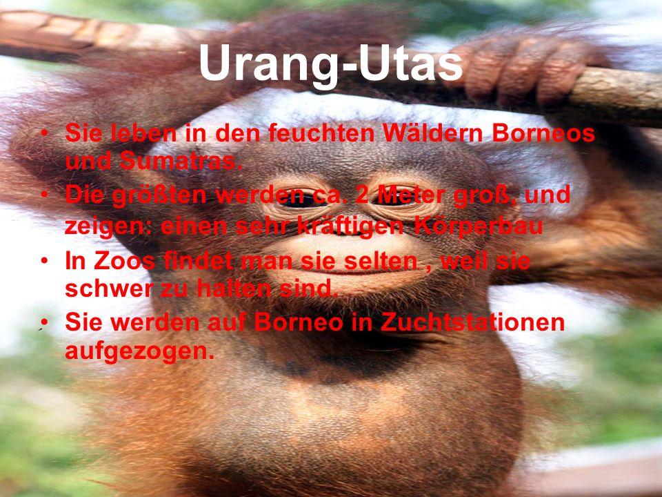 Urang-Utas Sie leben in den feuchten Wäldern Borneos und Sumatras. Die größten werden ca. 2 Meter groß, und zeigen: einen sehr kräftigen Körperbau In