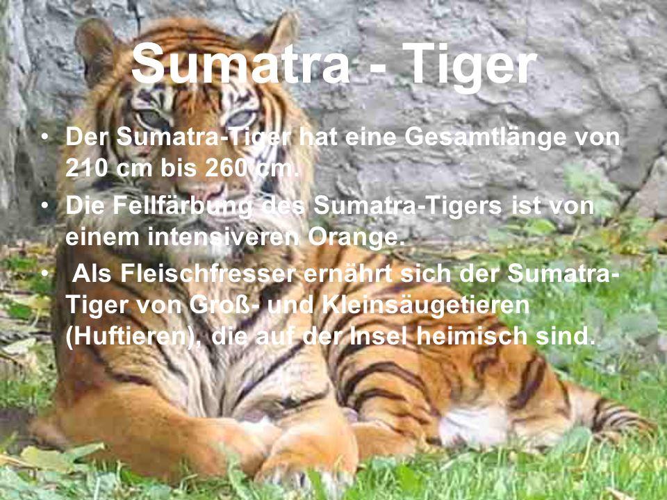 Sumatra - Tiger Der Sumatra-Tiger hat eine Gesamtlänge von 210 cm bis 260 cm. Die Fellfärbung des Sumatra-Tigers ist von einem intensiveren Orange. Al