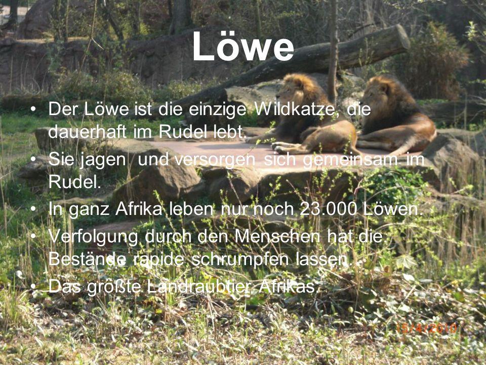 Löwe Der Löwe ist die einzige Wildkatze, die dauerhaft im Rudel lebt. Sie jagen und versorgen sich gemeinsam im Rudel. In ganz Afrika leben nur noch 2