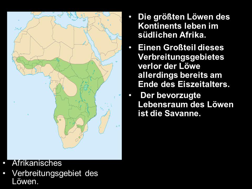 Afrikanisches Verbreitungsgebiet des Löwen. Die größten Löwen des Kontinents leben im südlichen Afrika. Einen Großteil dieses Verbreitungsgebietes ver