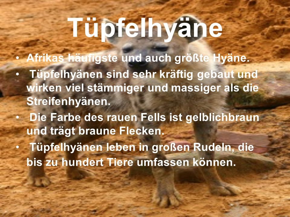 Tüpfelhyäne Afrikas häufigste und auch größte Hyäne. Tüpfelhyänen sind sehr kräftig gebaut und wirken viel stämmiger und massiger als die Streifenhyän