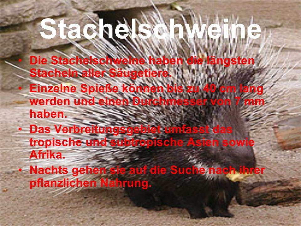 Stachelschweine Die Stachelschweine haben die längsten Stacheln aller Säugetiere. Einzelne Spieße können bis zu 40 cm lang werden und einen Durchmesse