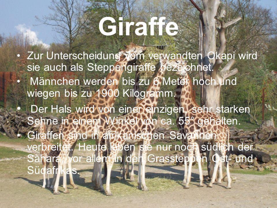 Giraffe Zur Unterscheidung vom verwandten Okapi wird sie auch als Steppengiraffe bezeichnet. Männchen werden bis zu 6 Meter hoch und wiegen bis zu 190