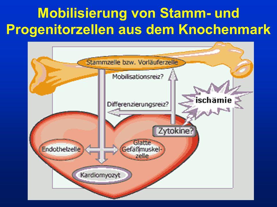Mobilisierung von Stamm- und Progenitorzellen aus dem Knochenmark