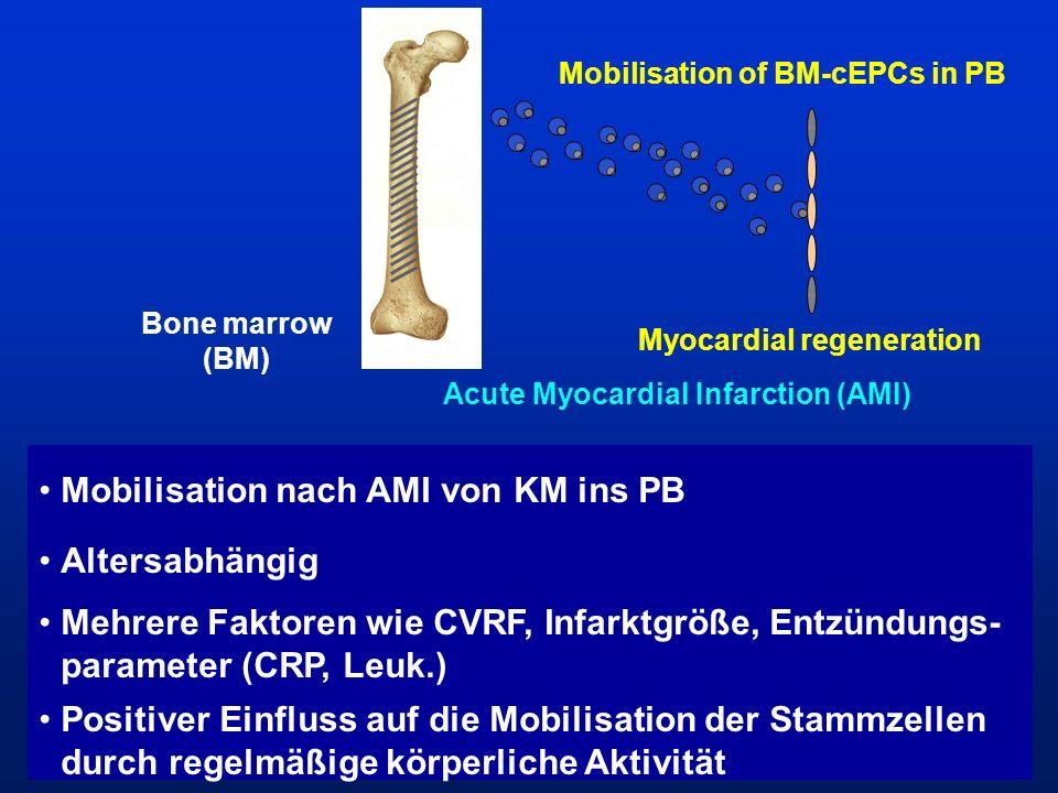 Mobilisation of BM-cEPCs in PB Bone marrow (BM) Myocardial regeneration Acute Myocardial Infarction (AMI) Mobilisation nach AMI von KM ins PB Altersab