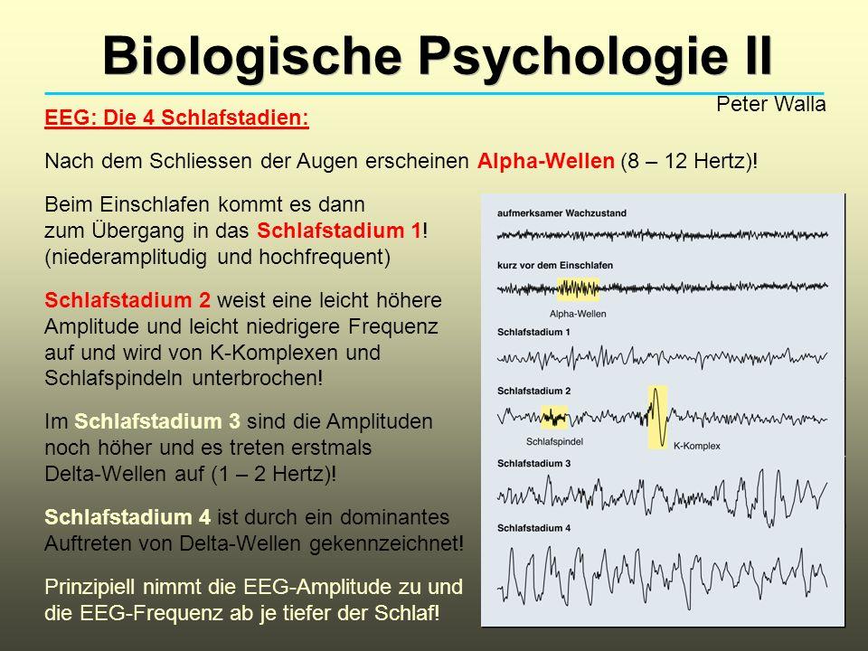 Biologische Psychologie II Peter Walla EEG: Die 4 Schlafstadien: Nach dem Schliessen der Augen erscheinen Alpha-Wellen (8 – 12 Hertz)! Beim Einschlafe