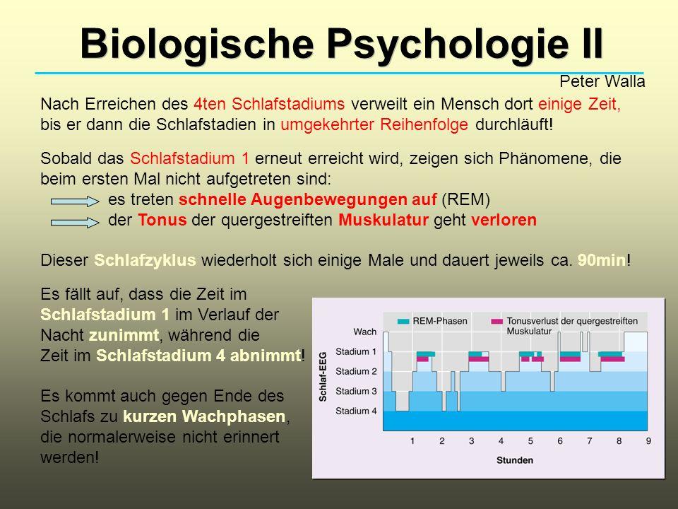 Biologische Psychologie II Peter Walla Nach Erreichen des 4ten Schlafstadiums verweilt ein Mensch dort einige Zeit, bis er dann die Schlafstadien in u