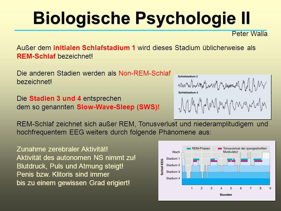 Biologische Psychologie II Peter Walla Außer dem initialen Schlafstadium 1 wird dieses Stadium üblicherweise als REM-Schlaf bezeichnet! Die anderen St