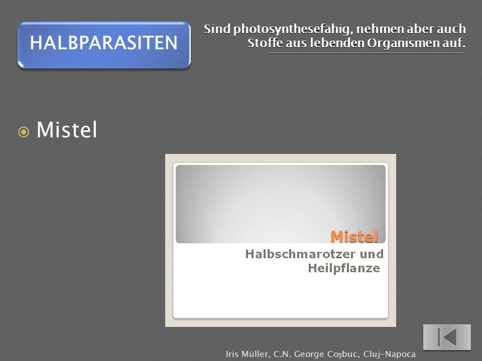 Sind photosynthesefähig, nehmen aber auch Stoffe aus lebenden Organismen auf. Mistel HALBPARASITEN Iris Müller, C.N. George Cobuc, Cluj-Napoca