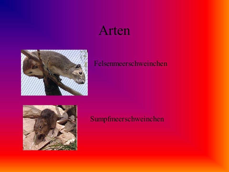 Arten Glatthaarmeerschweinchen Rosettenmeerschweinchen Es gibt 14 verschiedene Arten.
