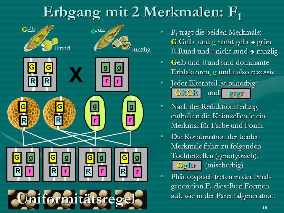 emeli 0618 Erbgang mit 2 Merkmalen: F 1 P 1 trägt die beiden Merkmale: G Gelb und g nicht gelb grün R Rund und r nicht rund runzlig Gelb und Rund sind
