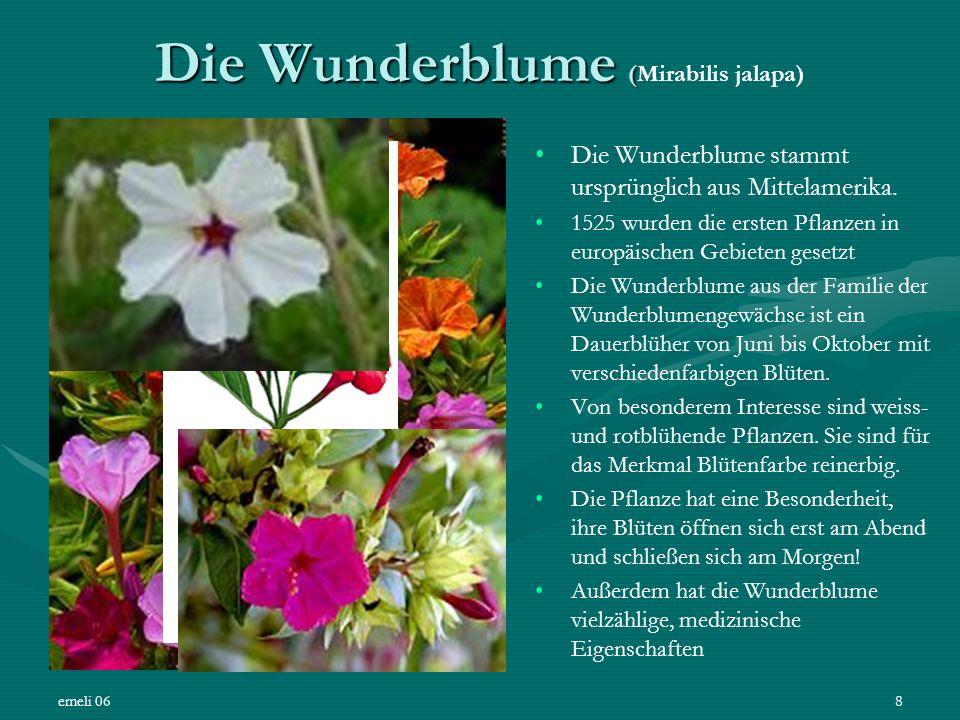 emeli 068 Die Wunderblume ( Die Wunderblume (Mirabilis jalapa) Die Wunderblume stammt ursprünglich aus Mittelamerika. 1525 wurden die ersten Pflanzen