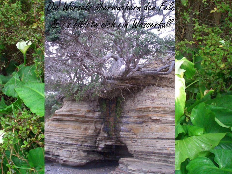 Die Wurzeln überwuchern den Fels & es bildete sich ein Wasserfall