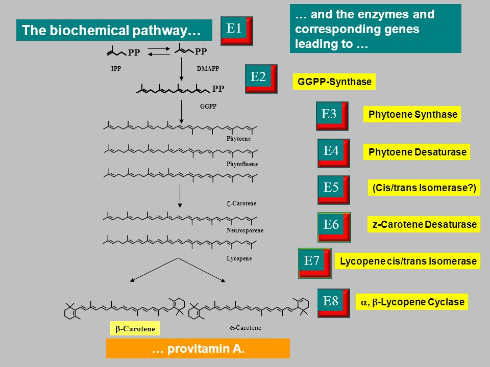 PP GGPP-Synthase IPPDMAPP GGPP Lycopene cis/trans Isomerase Phytoene Phytofluene -Carotene Neurosporene Lycopene E1 E2 E3 E4E5 E6 E7 -Carotene Phytoene Synthase z-Carotene Desaturase Phytoene Desaturase … and the enzymes and corresponding genes leading to … (Cis/trans Isomerase ) E8, -Lycopene Cyclase The biochemical pathway… … provitamin A.