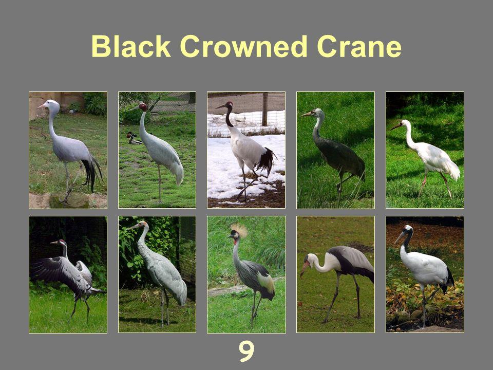 Hooded Crane 8