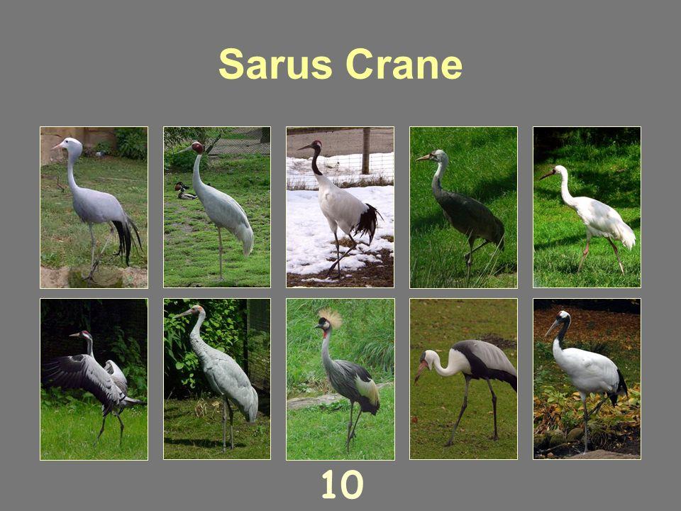 Black Crowned Crane 9
